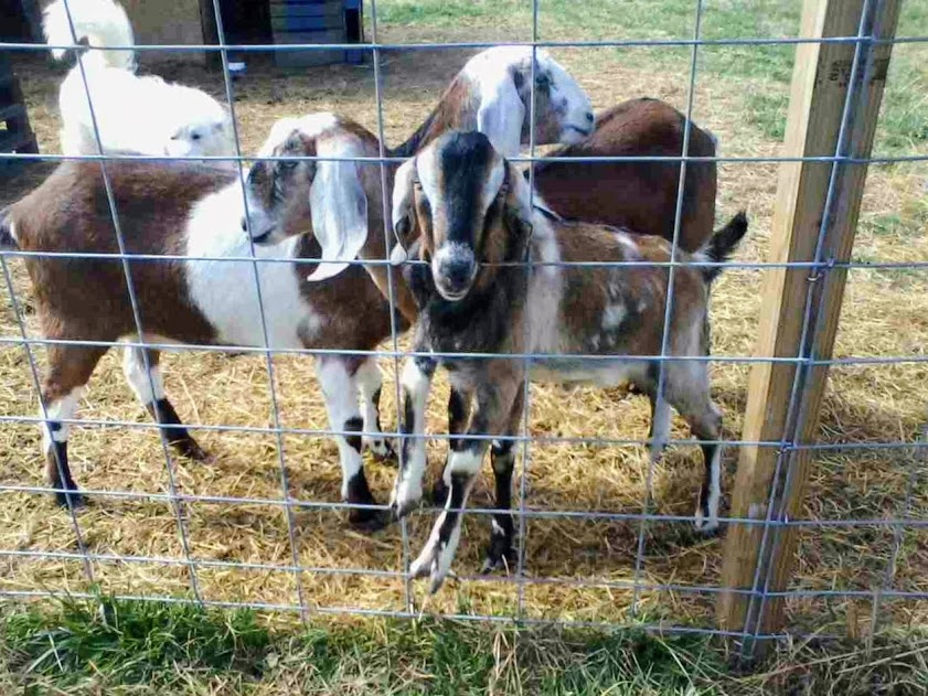 Meet the Family……… our Goats
